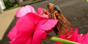 cicada header